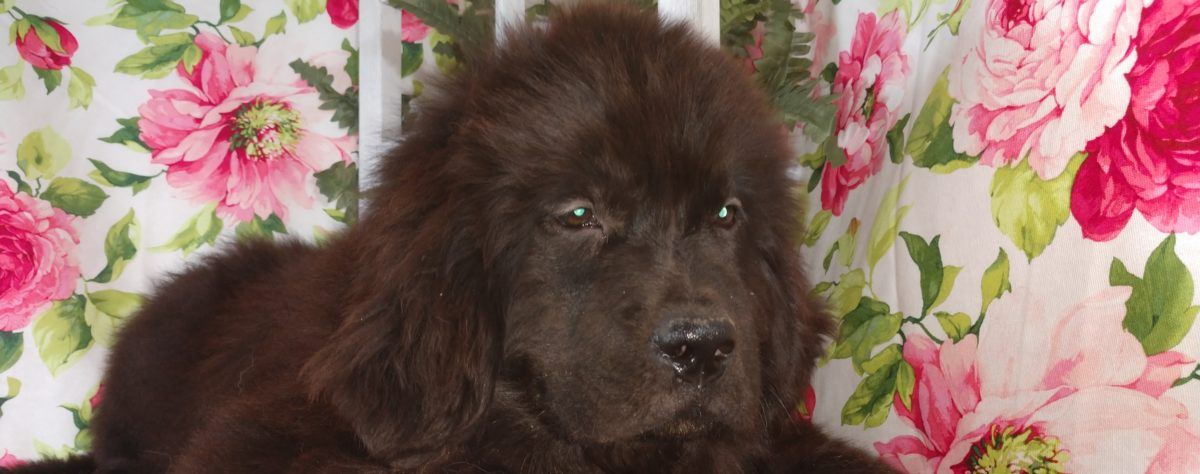 Fur-EverNewfies